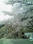 桜img175.jpg